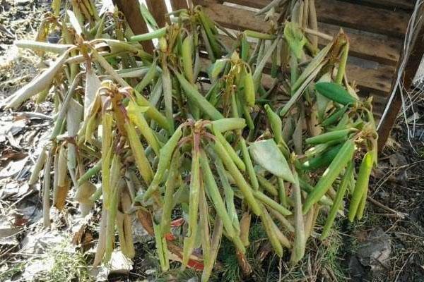 pp_image_17726_hpt009m8rtbolezni-rododendronov-3.jpg