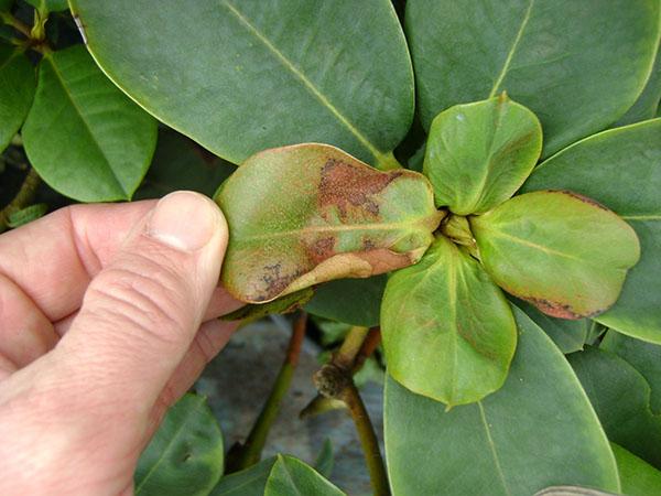 pp_image_17733_4fgghv5dftbolezni-rododendronov-10.jpg