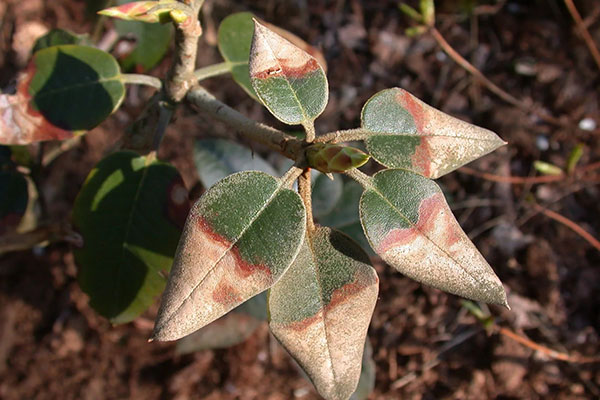 pp_image_17734_uil3oec73tbolezni-rododendronov-11.jpg