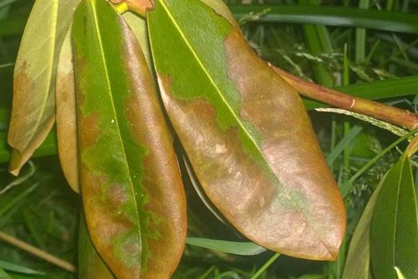 pp_image_17736_ugy7sim9dtbolezni-rododendronov-13.jpg