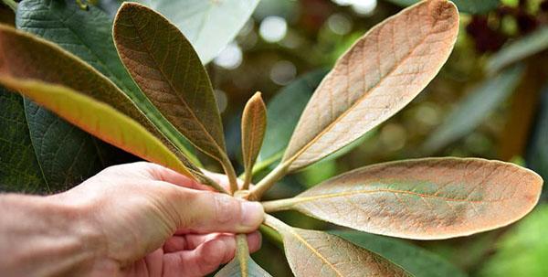 pp_image_17737_bpgm8b87etbolezni-rododendronov-14.jpg