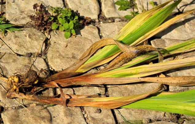 Мамбреция посадка и уход в открытом грунте на урале